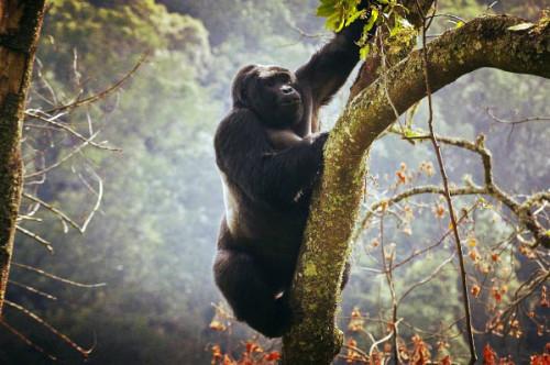 Gorilla Bwindi 2017